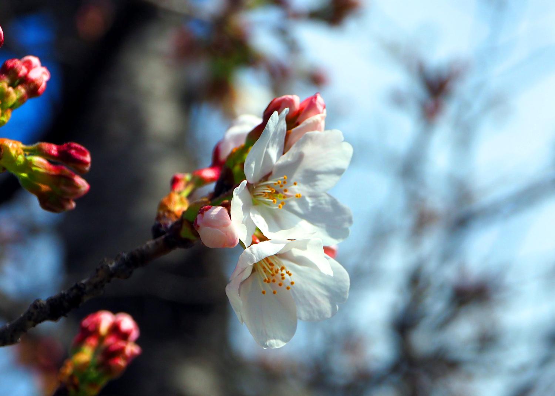 石川の桜_e0254493_11414975.jpg