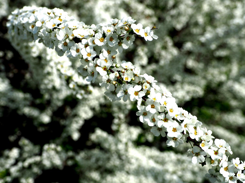 石川の桜_e0254493_11422129.jpg