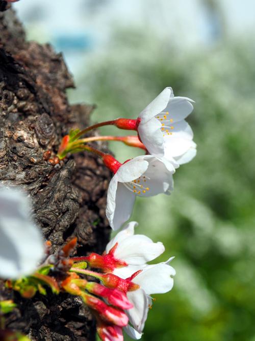 石川の桜_e0254493_1142370.jpg