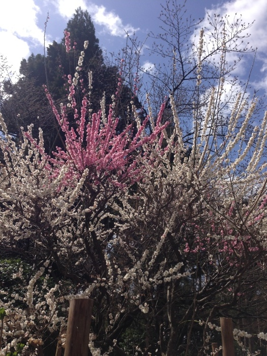 春は千客万来と言いたかったー龍安寺へ_c0100195_17303642.jpg