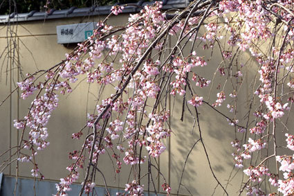 元気に咲いたイトザクラ_b0145296_20032091.jpg