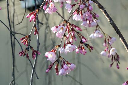 元気に咲いたイトザクラ_b0145296_20032469.jpg