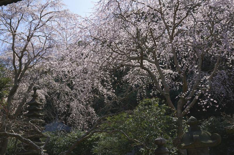 鎌倉桜めぐり_b0145398_22283217.jpg