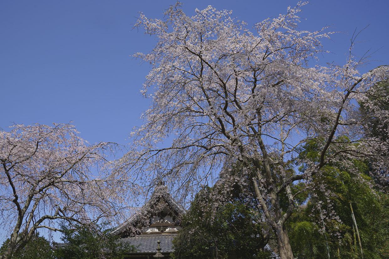 鎌倉桜めぐり_b0145398_22285313.jpg