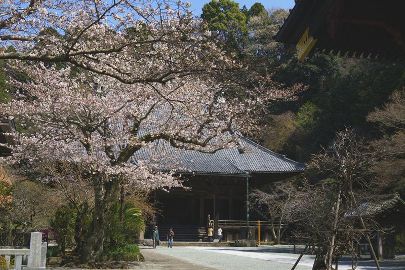 鎌倉桜めぐり_b0145398_22380596.jpg
