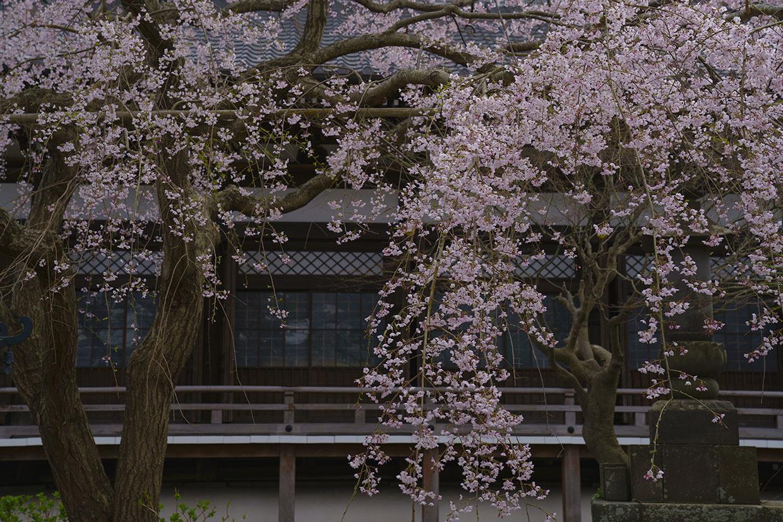 鎌倉桜めぐり_b0145398_22402285.jpg