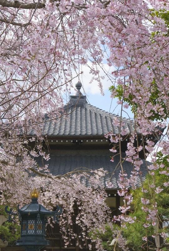 鎌倉桜めぐり_b0145398_22440829.jpg