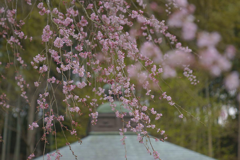 鎌倉桜めぐり_b0145398_22455798.jpg