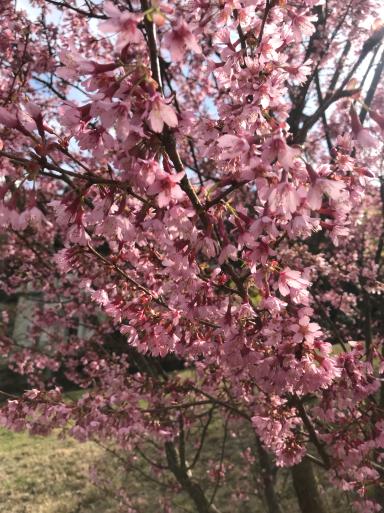 熱海の桜3種_f0101201_18550582.jpg