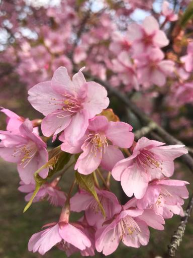 熱海の桜3種_f0101201_18562514.jpg