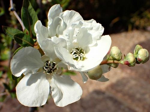 咲き始めたアーモンドの花と利休梅_e0289203_13353312.jpg