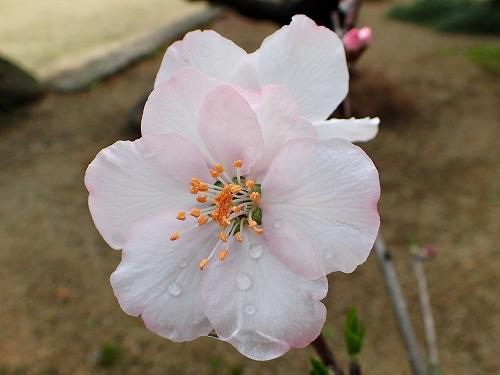 咲き始めたアーモンドの花と利休梅_e0289203_13353336.jpg