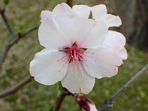 咲き始めたアーモンドの花と利休梅_e0289203_13353338.jpg