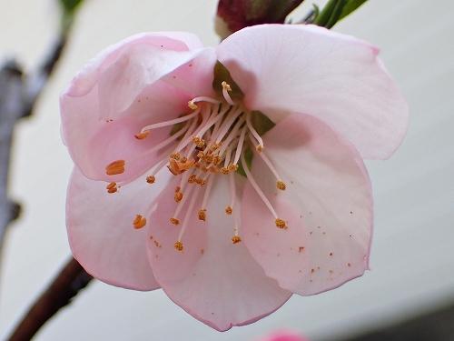 咲き始めたアーモンドの花と利休梅_e0289203_13353357.jpg