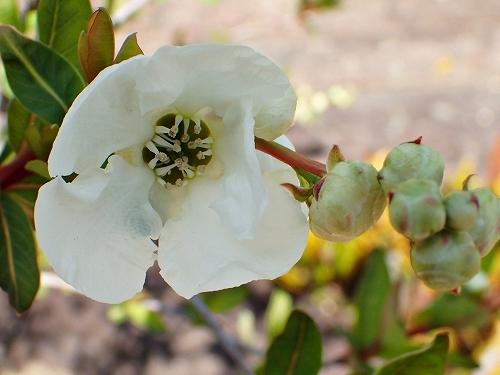 咲き始めたアーモンドの花と利休梅_e0289203_13353444.jpg