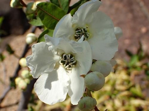 咲き始めたアーモンドの花と利休梅_e0289203_13353491.jpg