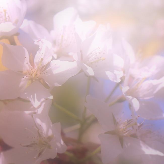 魚見桜(うおみざくら)_a0329820_12145790.jpg