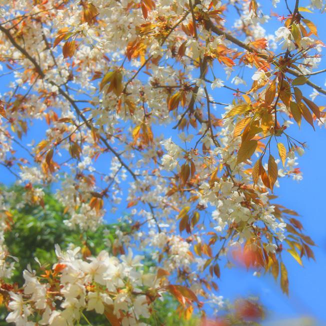 魚見桜(うおみざくら)_a0329820_12150951.jpg
