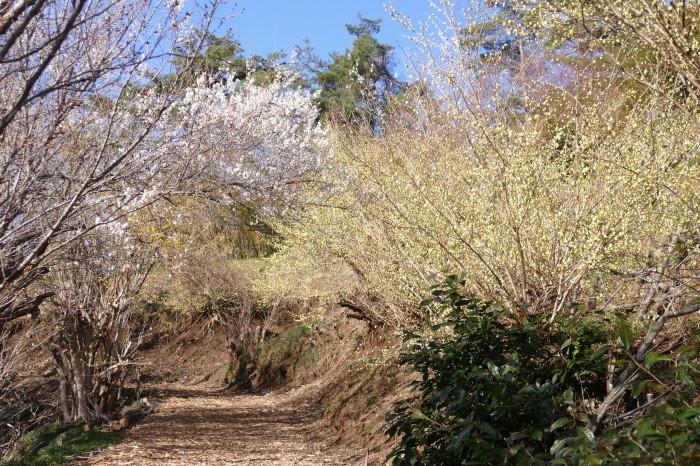 福島市渡利 「花見山の花」_d0106628_14453234.jpg