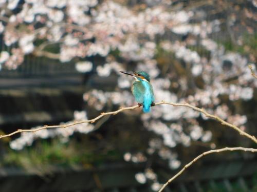 野川カワセミ日記(2018/03/24)_c0338136_13430717.jpg