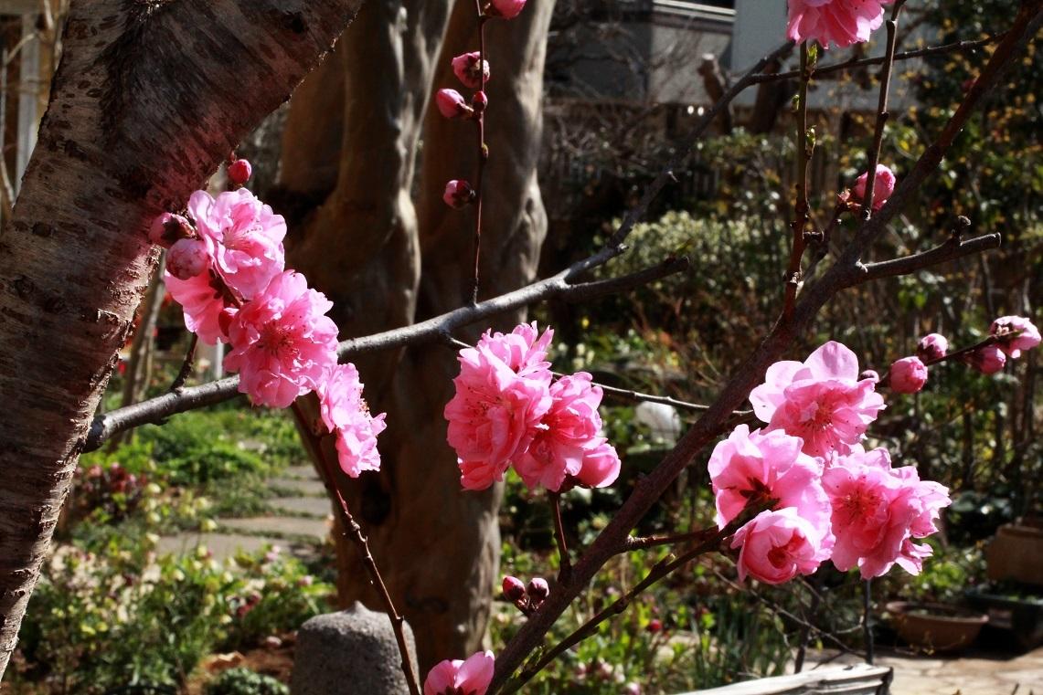 公園のさくら満喫 ~ハナ桃、庭梅、薄ピンクの雪柳~_a0107574_20234518.jpg