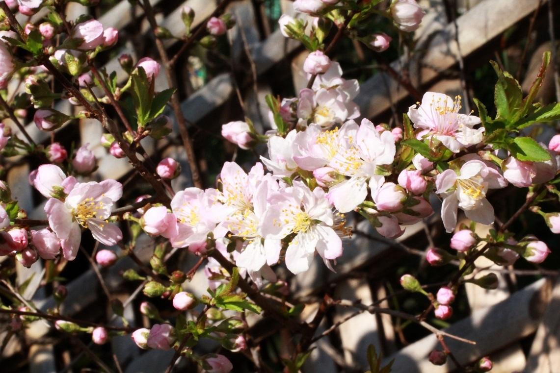 公園のさくら満喫 ~ハナ桃、庭梅、薄ピンクの雪柳~_a0107574_20235255.jpg