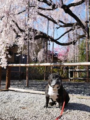 地蔵院のしだれ桜_a0027275_18472245.jpg