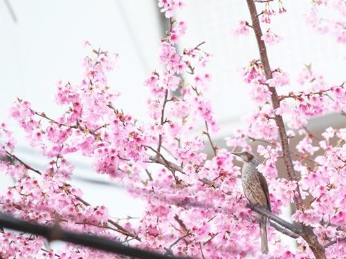 桜に注意!?_f0357682_16271251.jpg
