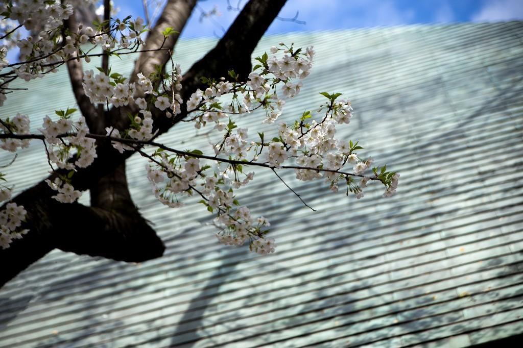 桜、桜_e0305388_12444988.jpg