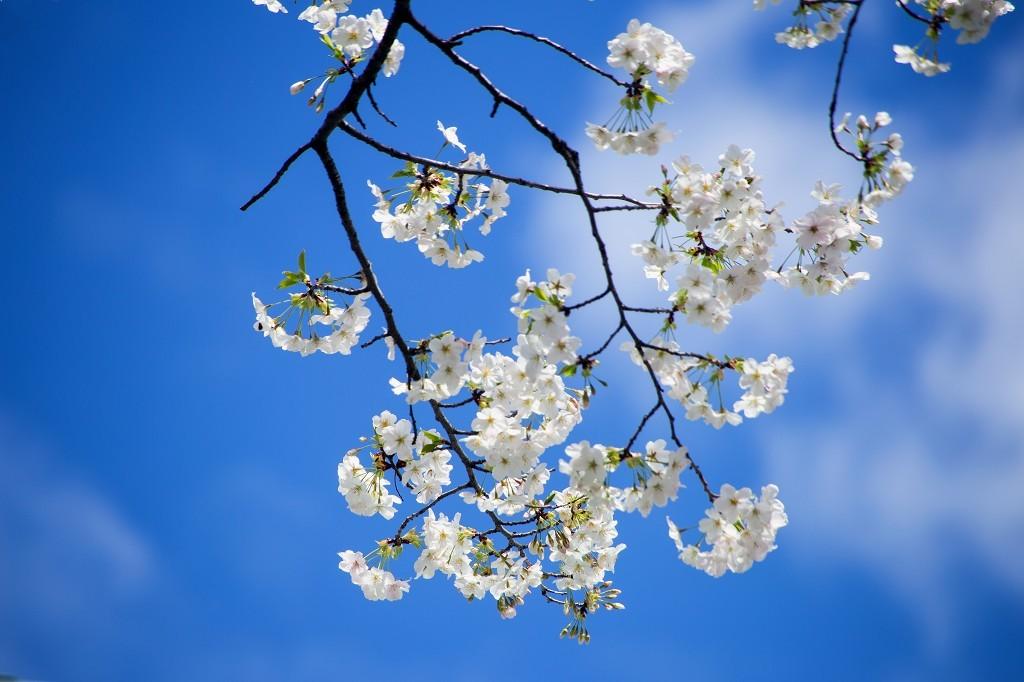 桜、桜_e0305388_12445186.jpg