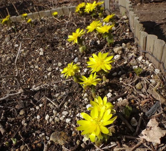 春を教えてくれる福寿草とスノードロップなど♪_a0136293_16111277.jpg