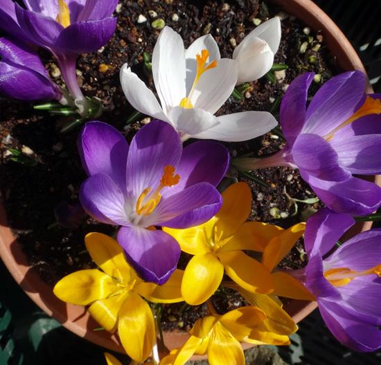 春を教えてくれる福寿草とスノードロップなど♪_a0136293_16142264.jpg