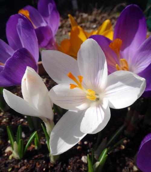 春を教えてくれる福寿草とスノードロップなど♪_a0136293_16174951.jpg