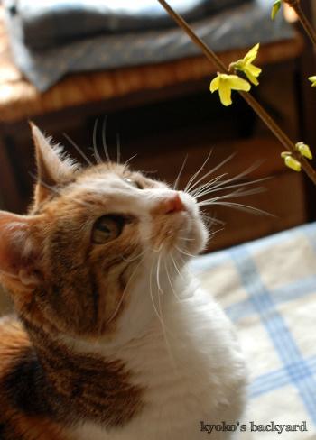 レンギョウの花。ということは・・・。_b0253205_05470701.jpg