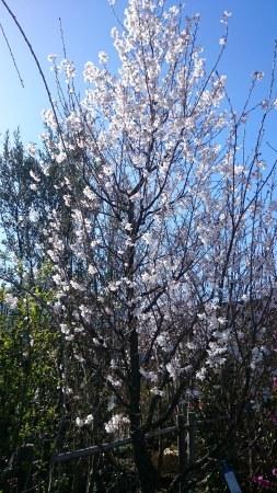 山桜_e0202111_17362133.jpg