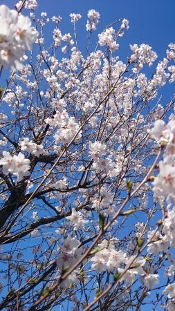 山桜_e0202111_17362556.jpg