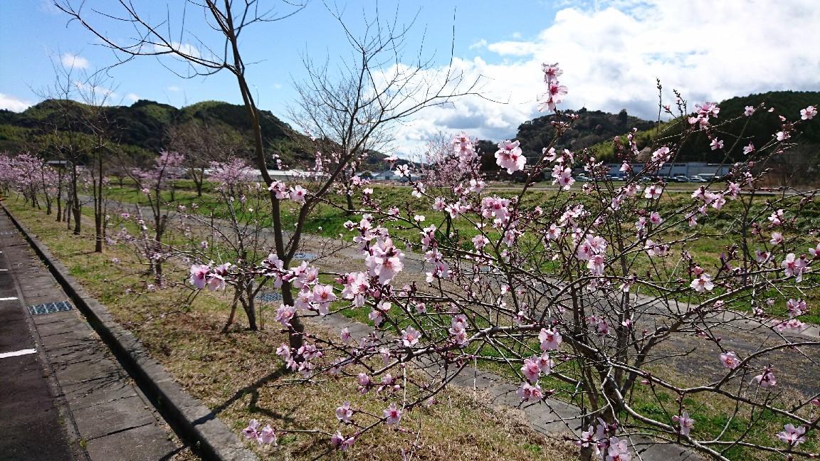 桜じゃないよ、アーモンドだよ。_b0093515_23055661.jpg