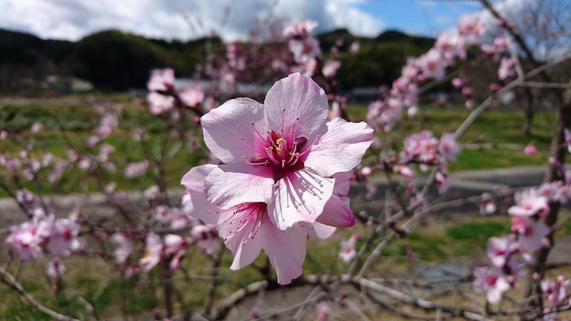 桜じゃないよ、アーモンドだよ。_b0093515_23071179.jpg