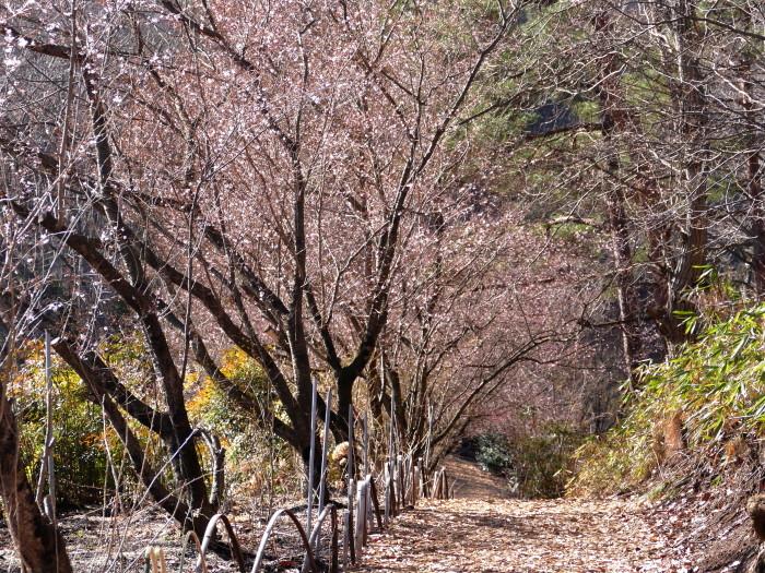 福島市渡利 「花見山の花」 ②_d0106628_11120952.jpg