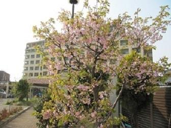 緑陽館 春桜_e0163042_15544536.jpg