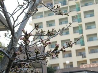 緑陽館 春桜_e0163042_15552406.jpg