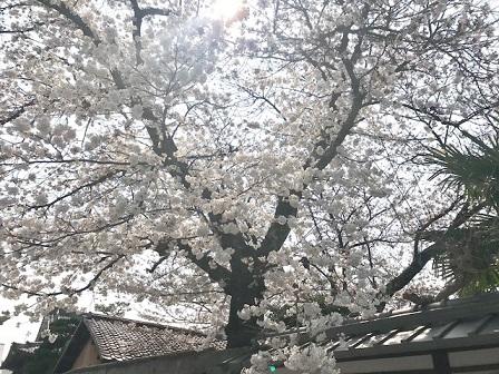 北野をどりのお客様・作家さんの素敵なコート・桜も開花_f0181251_20594589.jpg