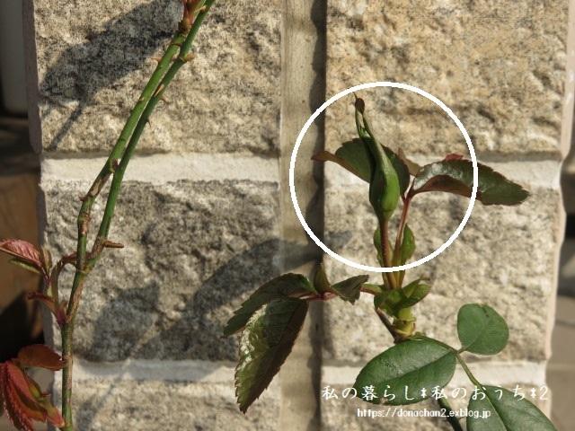 ++春&嬉しい薔薇の成長記録の続き②++_e0354456_09495034.jpg