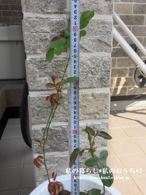 ++春&嬉しい薔薇の成長記録の続き②++_e0354456_10364633.jpg
