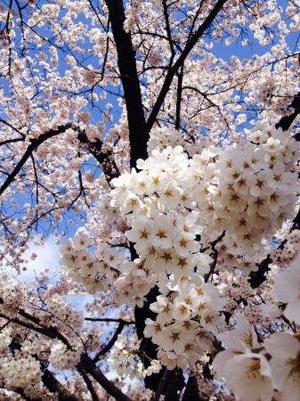今年の桜前線、予想してみました。_b0218062_14120027.jpg
