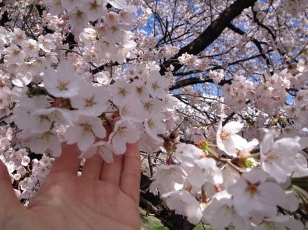 今年の桜前線、予想してみました。_b0218062_14120089.jpg