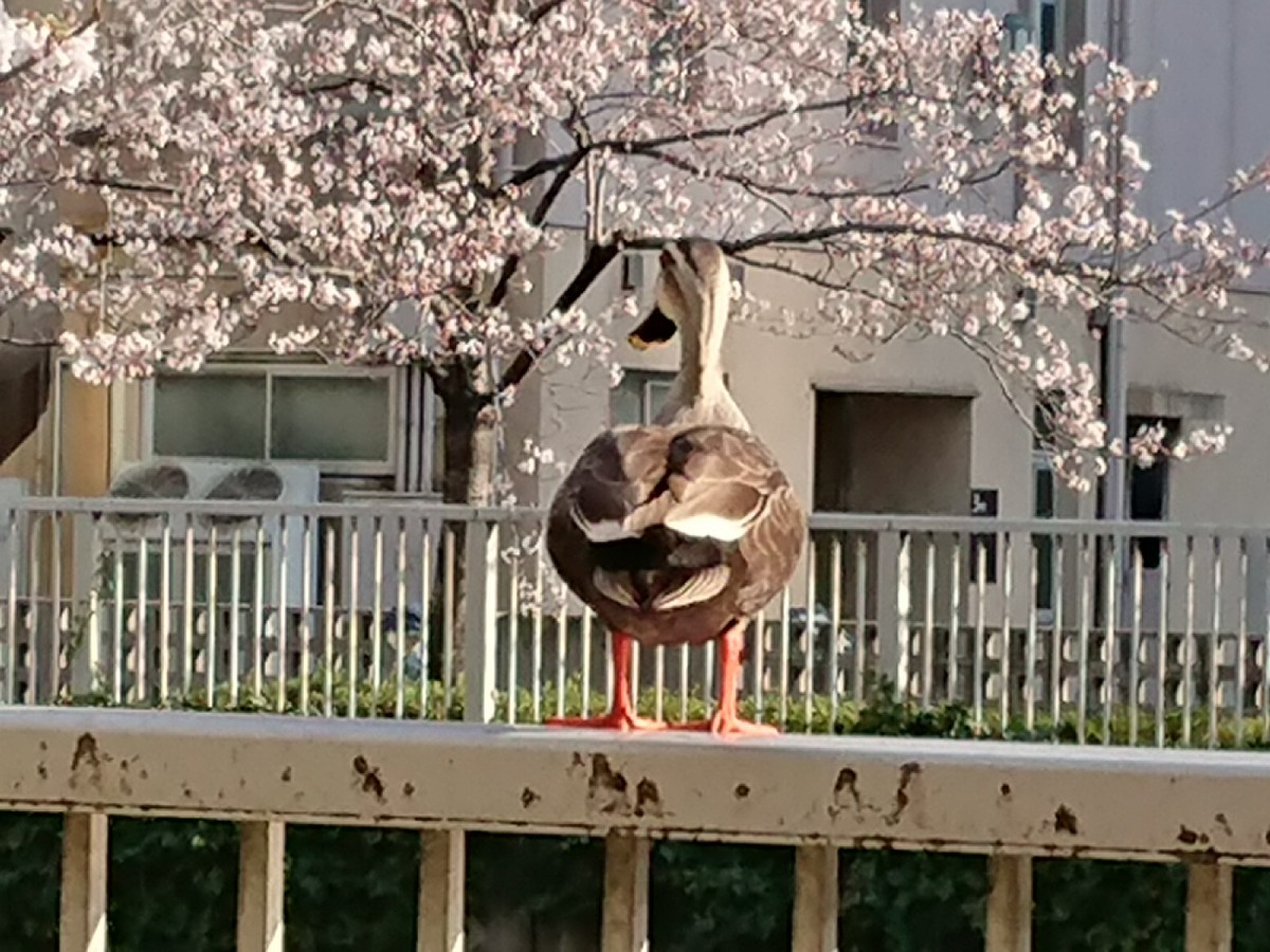 目黒川で、鴨さんもお花見(笑)_c0100865_08202637.jpg