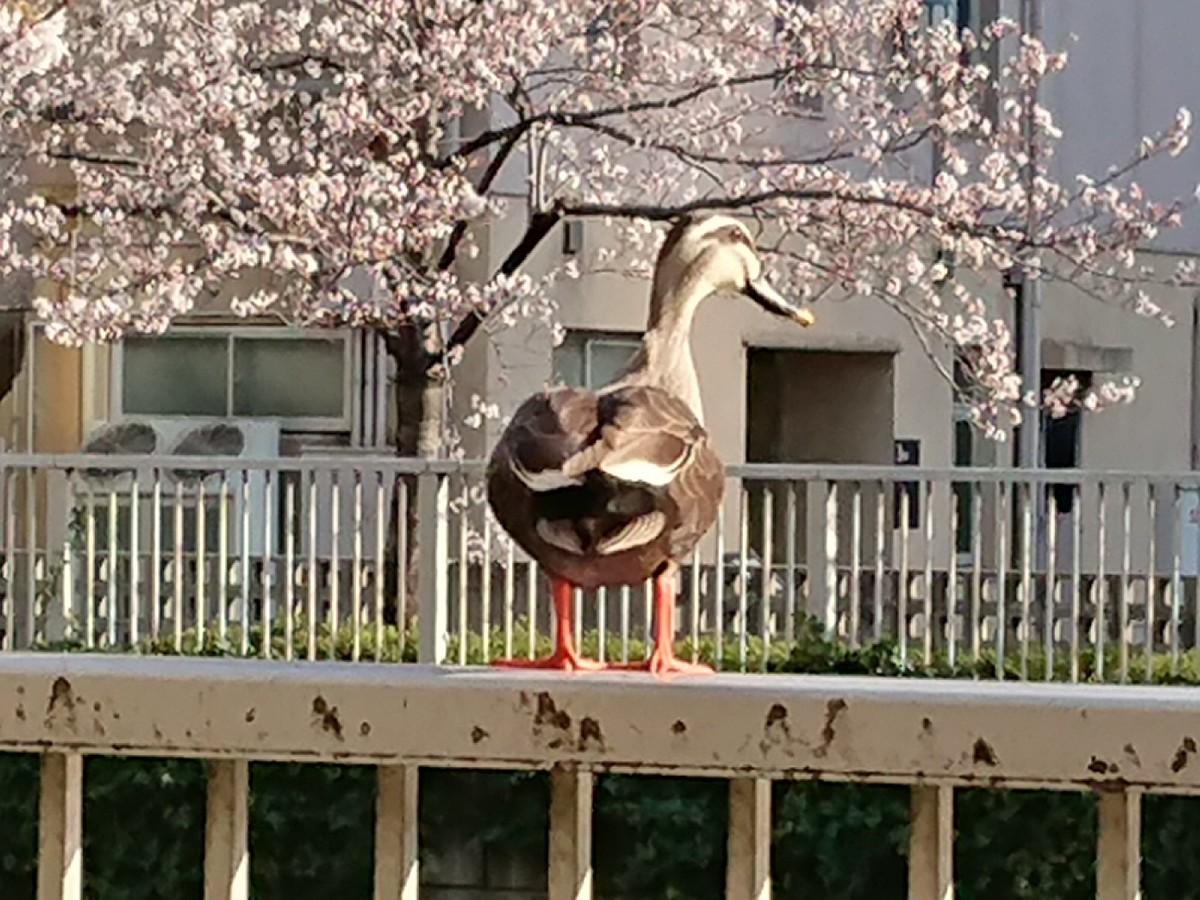目黒川で、鴨さんもお花見(笑)_c0100865_08202643.jpg