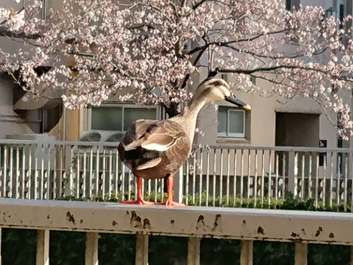目黒川で、鴨さんもお花見(笑)_c0100865_08202711.jpg