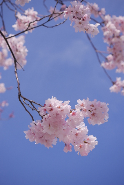 桜さん、こんにちは♪_b0358575_02484547.jpg
